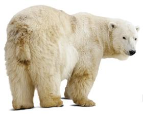 Rescue-Polar-Bear