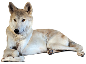 Rescued-Wolf